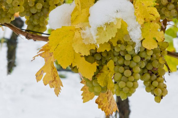 First snow in the vineyard