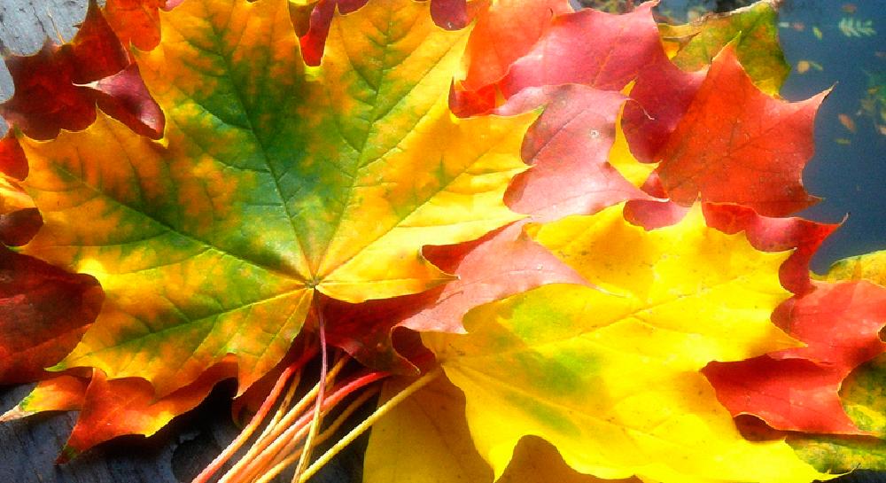 Maple, el sabor y aroma que te conquista