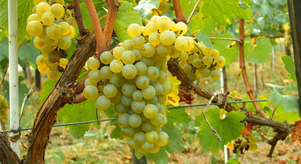 D. O. Rueda, en defensa de la uva Verdejo