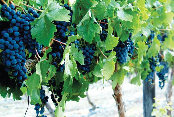 Vinyard-grapes-close-up