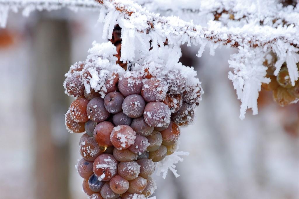 Ice wine: magia y misterio de una uva congelada