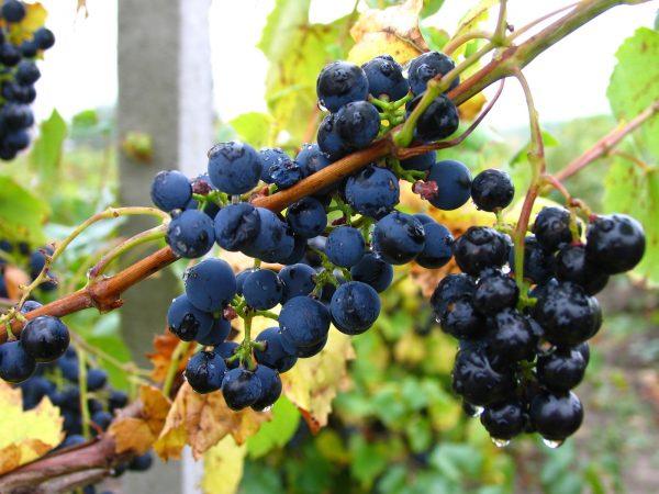 vineyard-3-1511352-1600x1200