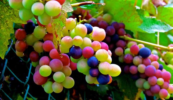 Los_colores_del_vino_Revista_El_Conocedor_2