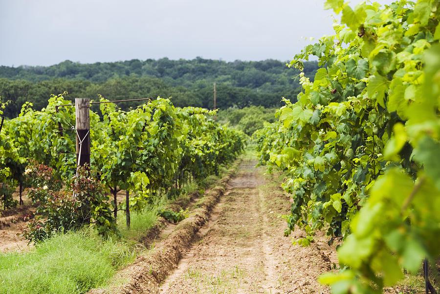 grape-vines-at-fall-creek-vineyards