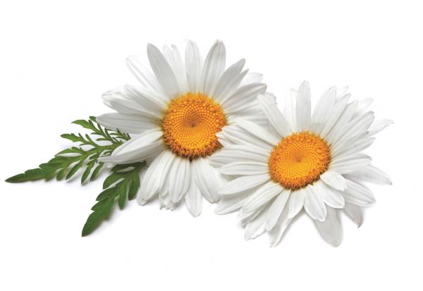 Flores Blancas Png 800 600: Flores Comestibles