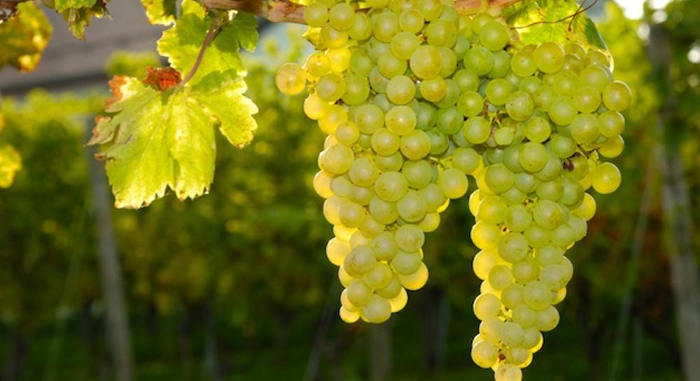 Resultado de imagen de sauvignon blanc uva