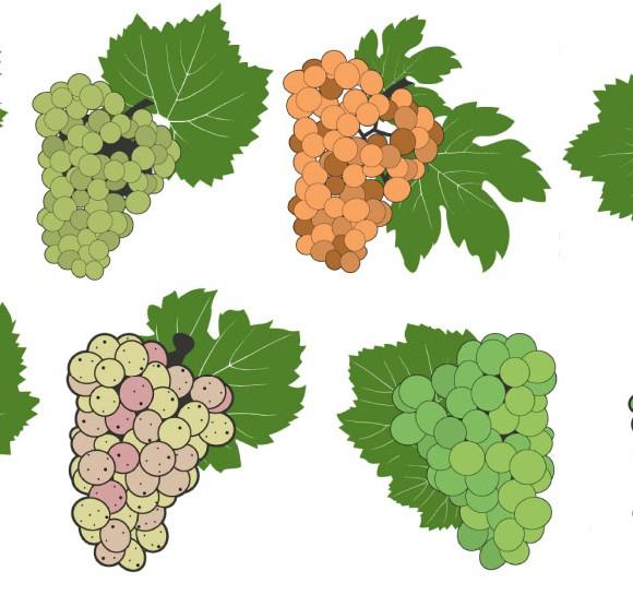 Las uvas de los vinos blancos