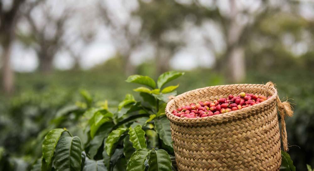 Café cultivado en altura