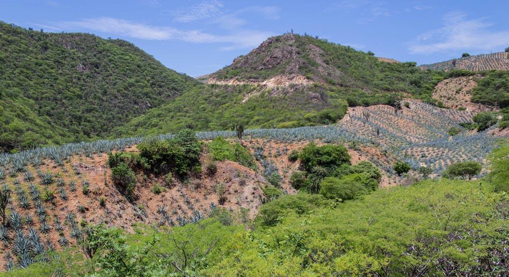 Los caminos del Mezcal: Una ruta entre agaves y magueyes.