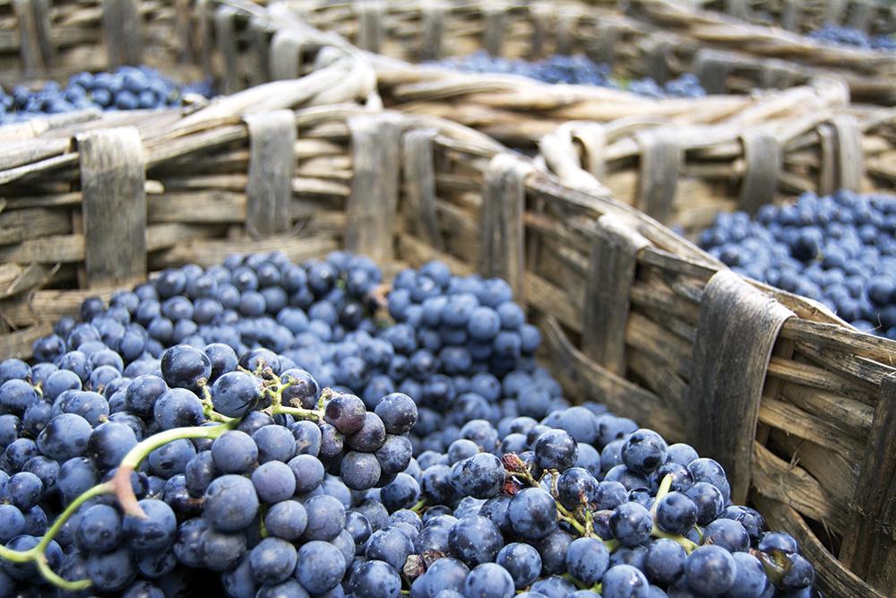 nebbiolo-grapes