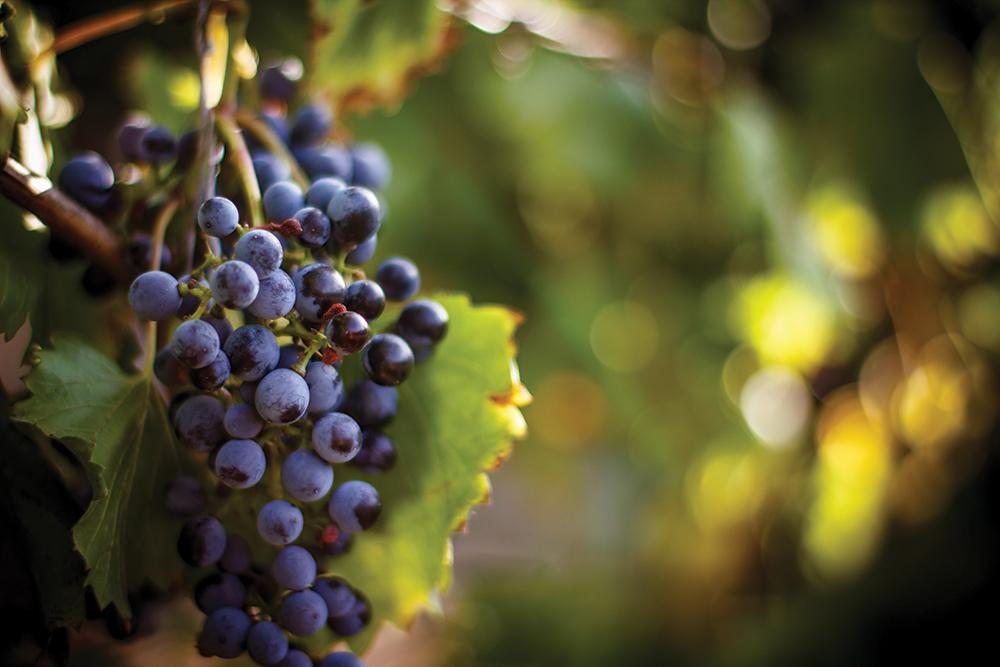 El discreto encanto de los vinos californianos (Parte 2)