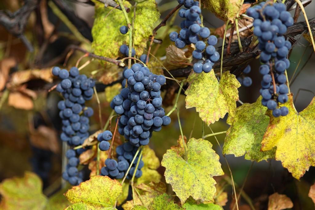 Tempranillo, un vino de carácter propio