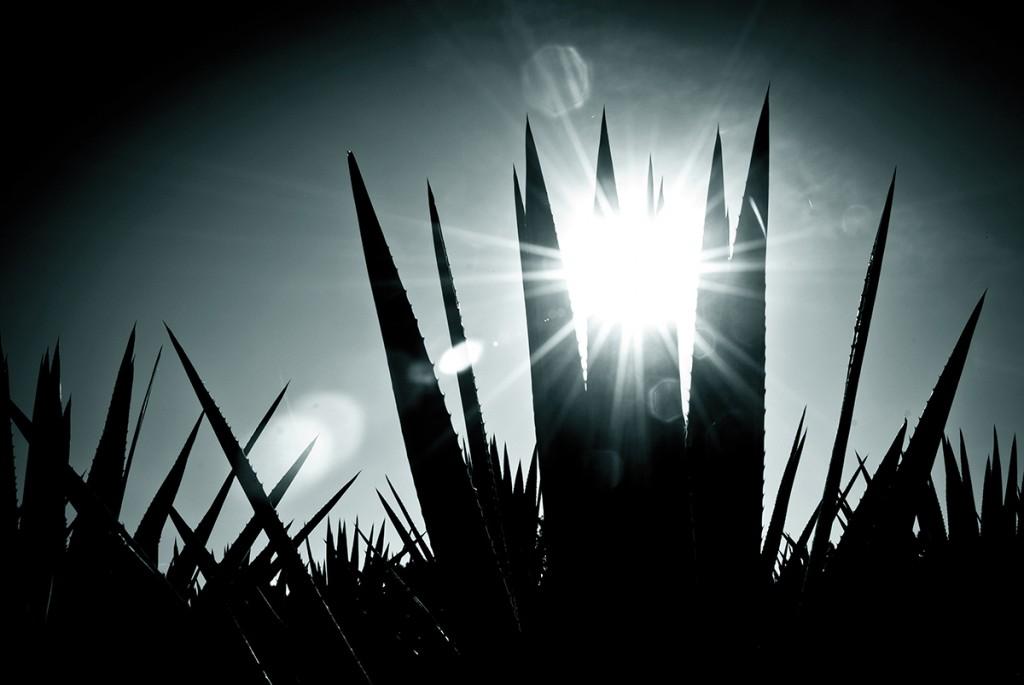 El agave, espejo del sol