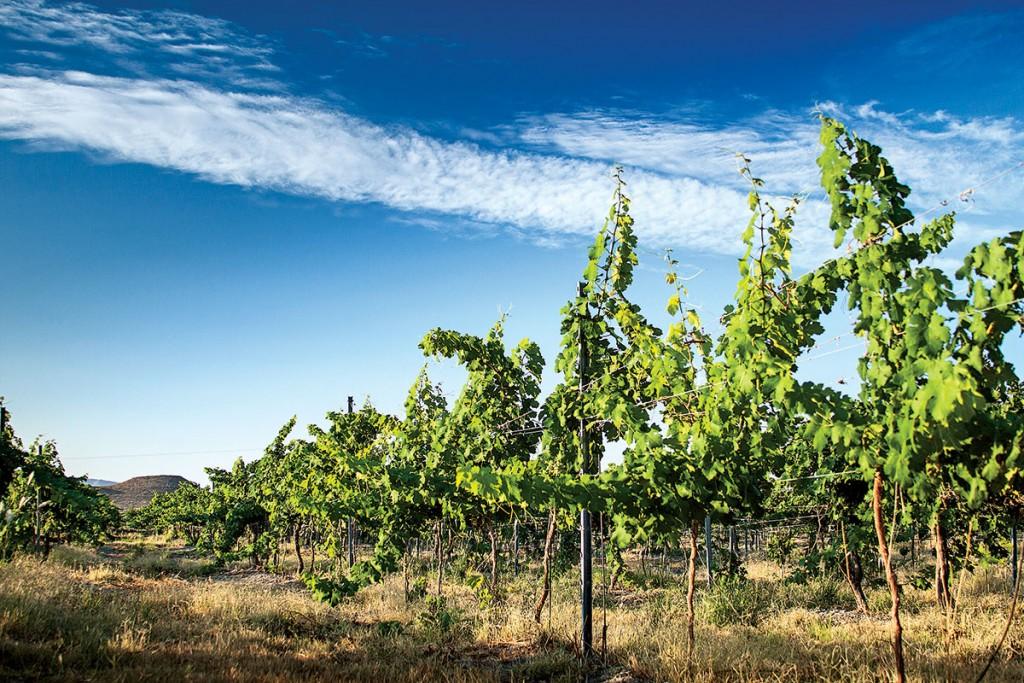 Producción nacional:  la industria del vino mexicano