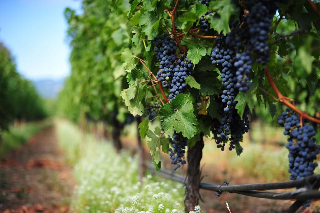 Petit Verdot, un vino de corte que supo ganar su lugar