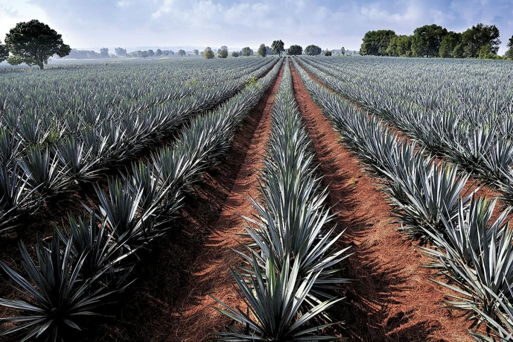 Tequila y mezcal: mitos y realidades