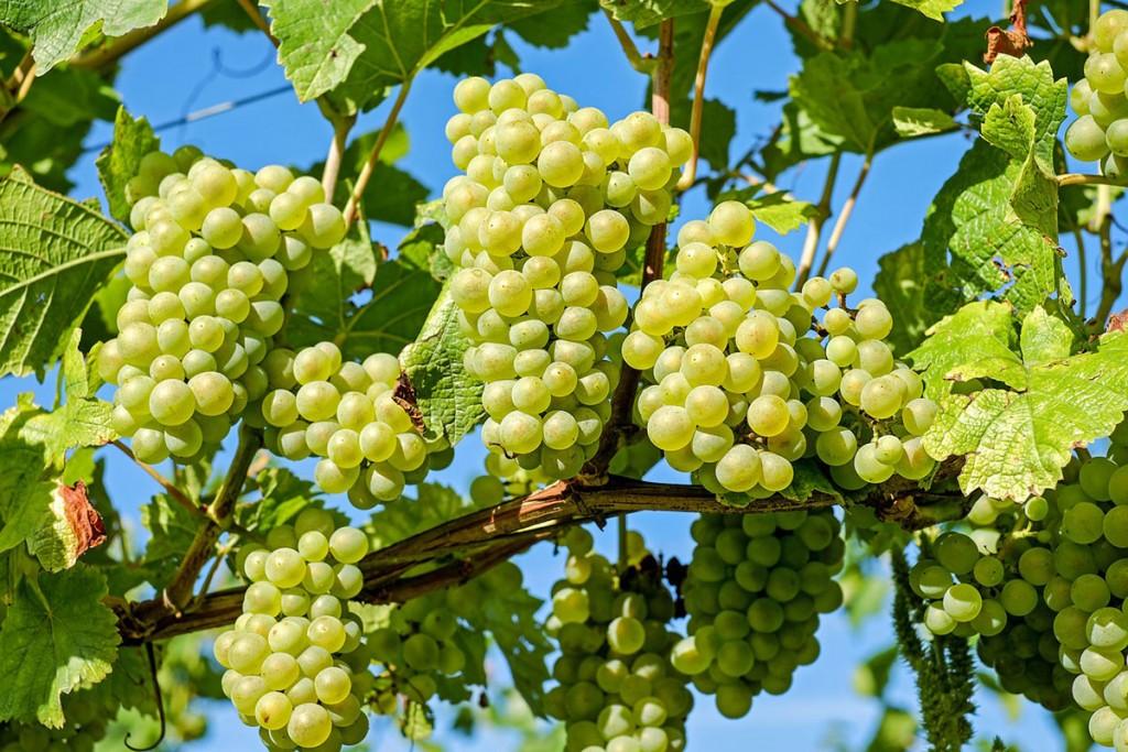 Malvasía, una variedad versátil para vinos originales