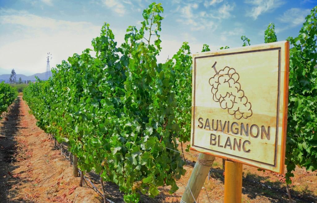 Sauvignon Blanc, una uva internacional