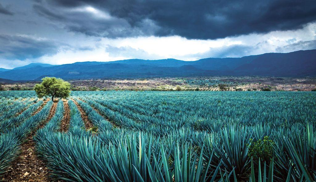 La ciencia detrás del destilado más mexicano: el tequila