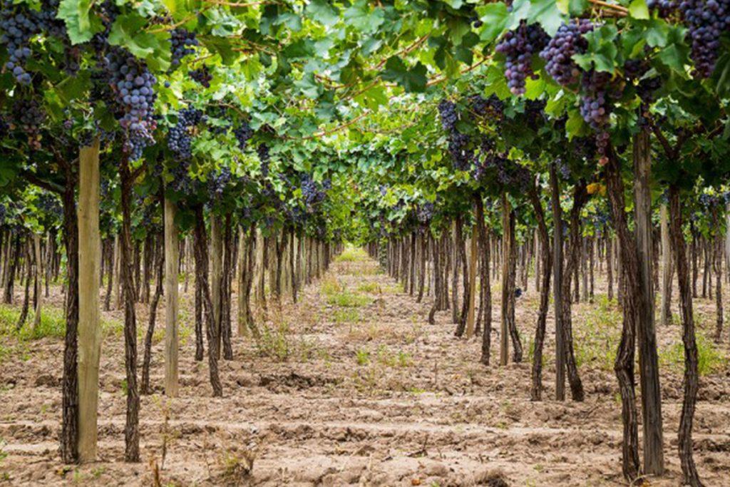 La primera vinícola de América ¡es mexicana!