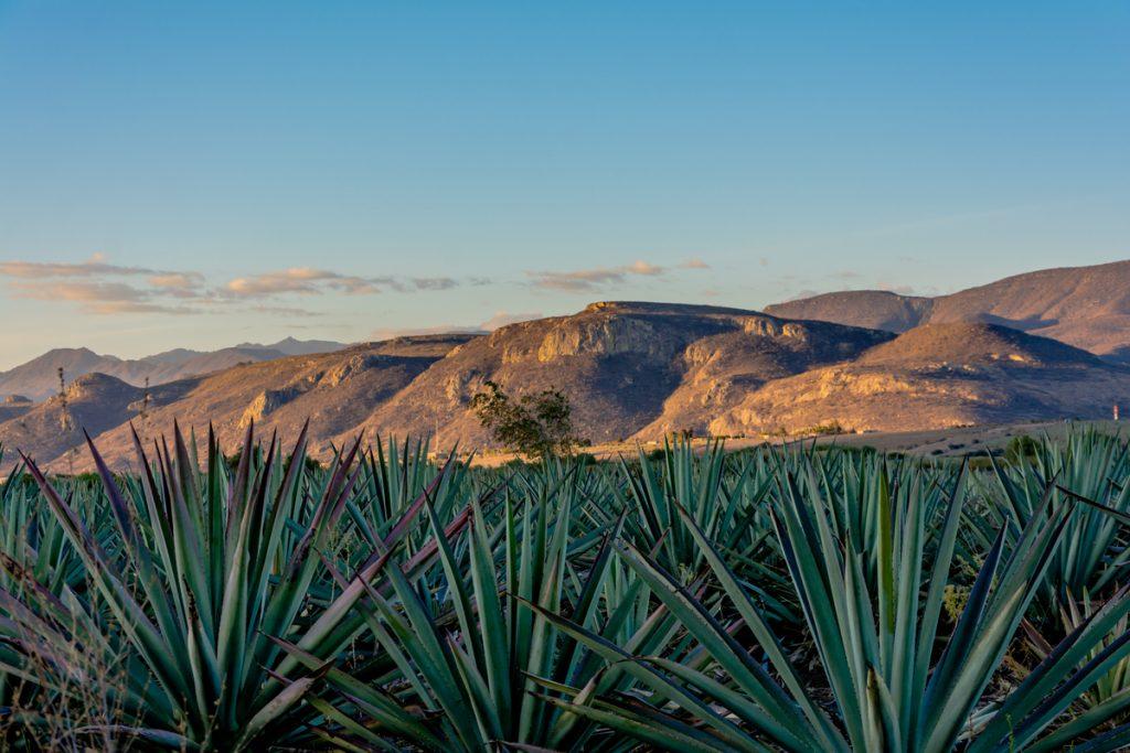 Mezcal, el destilado prehispánico más actual
