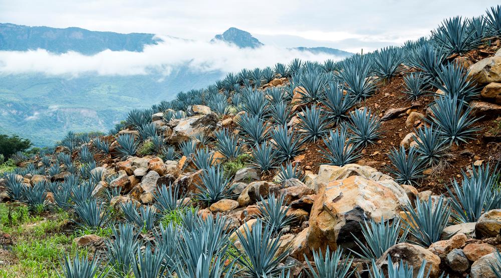 Tequila, guerrero mexicano