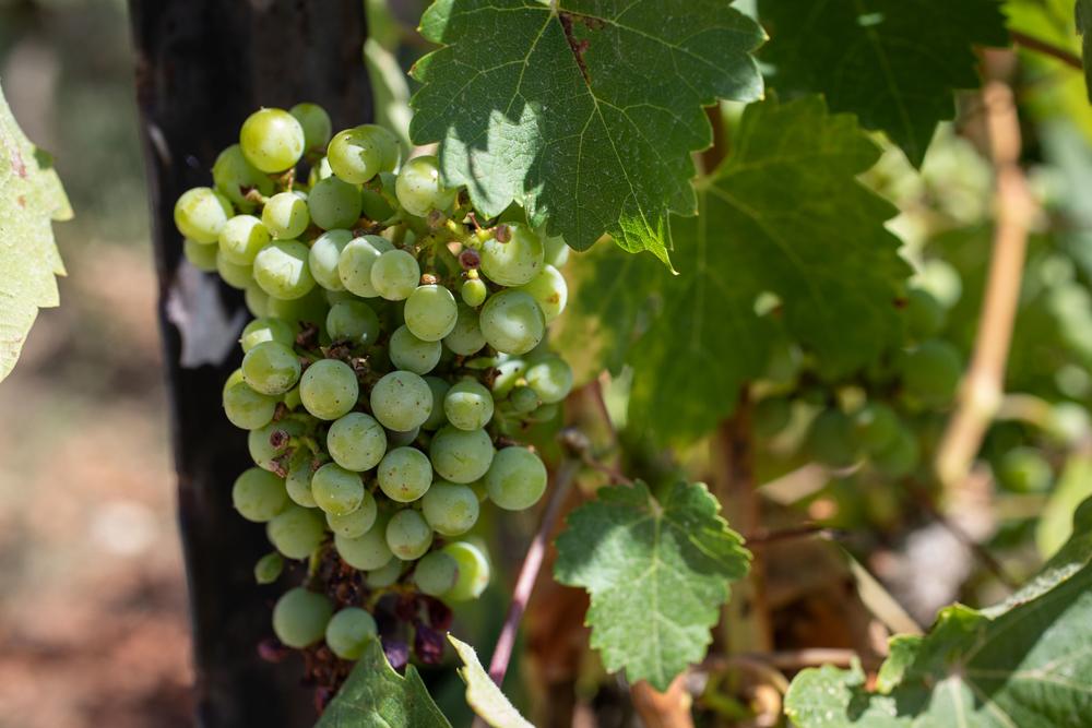 Región vitivinícola de Israel es reconocida como Denominación de Origen Protegida